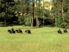 Packtrain Entering the Meadow in Pine Valley After a Day's Ride