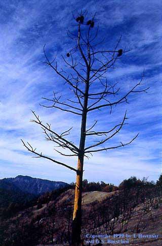 Pine Ridge, Ventana Wilderness, November 13-14, 1999.